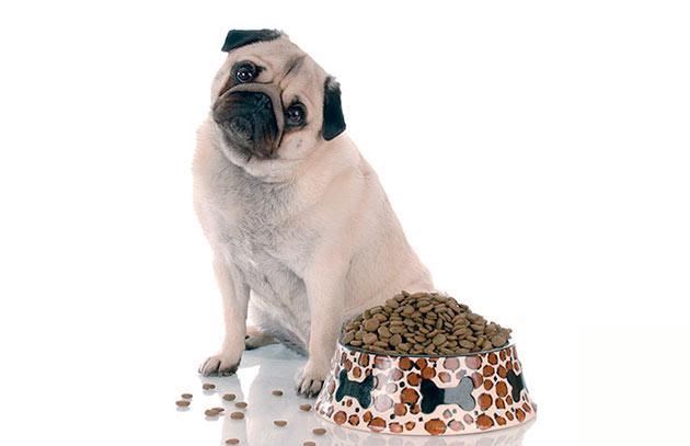 С возрастом необходимо будет скорректировать питание мопса, необходимо будет включить низко белковые диеты или специальные добавки