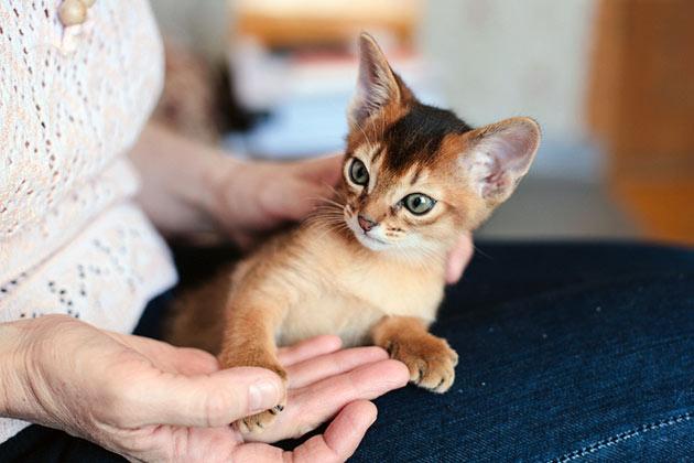 Если вы решили приобрести котенка не для выставок, обратите внимание на Pat (Пэт) класс