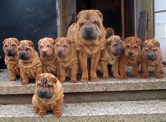 Шарпеи довольно молчаливые собаки, что также отмечают их владельцы