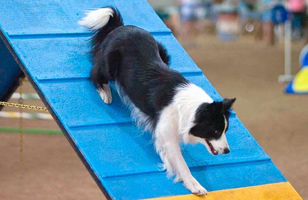 Бордер-колли не прихотливы в уходе, но не забывайте во время прогулки играть с вашей собакой