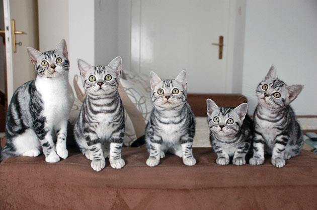 Вашу американскую короткошёрстную кошку могут не допустить до выставки из-за явных признаков смешения с другими породами