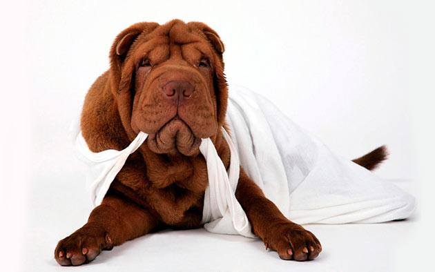 Обязательным условием при уходе за шарпеем является, обязательное сушка шерсти между складками