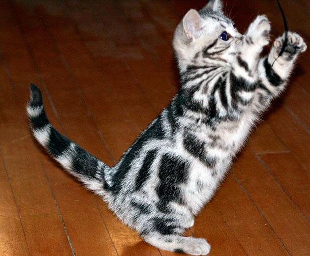 Американские короткошёрстные кошеки не вызовут проблем с содержанием