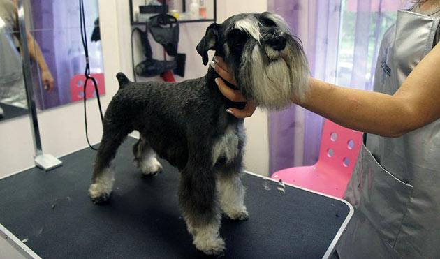 Шерстяной покров у цвергшнауцер, требует постоянного ухода - мытье и стрижка, нужно производить чаще чем у многих пород собак