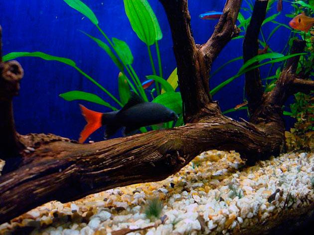 Для содержания двухцветных лабео необходимо создать просторное места для плавания и достаточное количество пищи