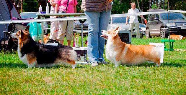 Вельш-корги представляет собой низкорослую и очень подвижную собаку