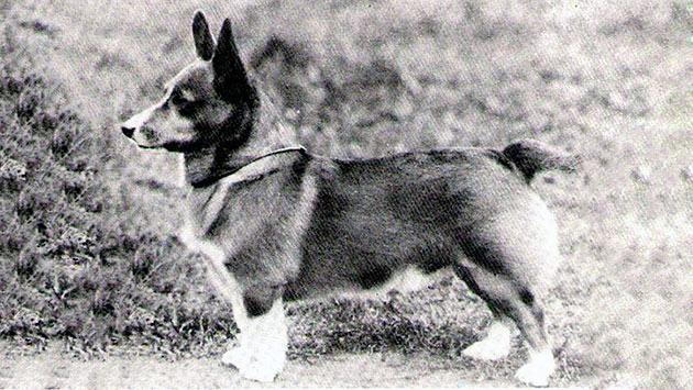Породы собак: Вельш-корги пемброк