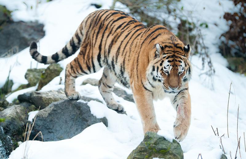 Амурский тигр внесен в Красную книгу РФ, а также в Красную книгу Международного союза охраны природы