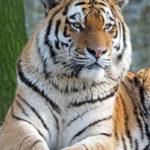 Амурский тигр (лат Panthera tigris altaica)
