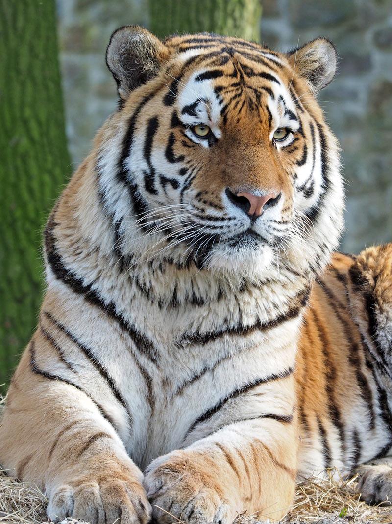 Амурский тигр, или уссурийский тигр (лат Panthera tigris altaica)