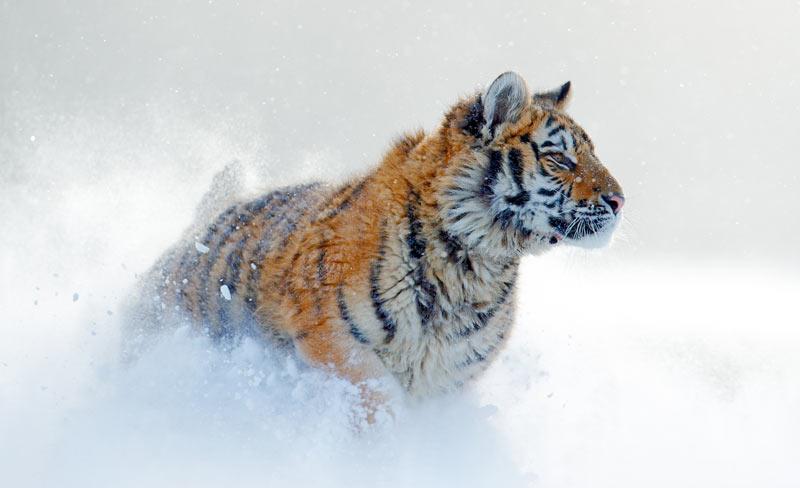 Суточная норма амурского тигра составляет 9–10 кг мяса, или 50–70 оленей ежегодно