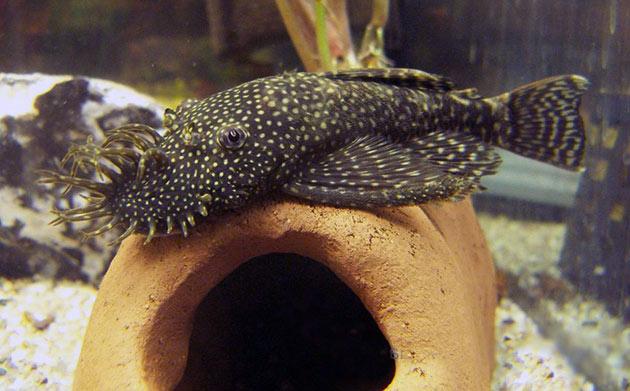При содержание анциструса звездчатого желательно установить в аквариум хорошую фильтрующую систему и поддерживать температуру на уровне 20-28 градусов