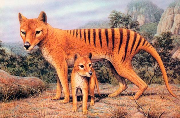 Родиной сумчатого или тасманийского волка является остров Тасмания