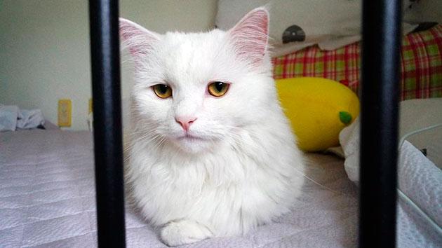 У турецкой ангоры есть ряд родовых пороков, именно поэтому необходимо периодически обращаться к ветеринару