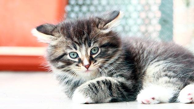 Сибирская кошка наделена хорошим иммунитетом, но периодически показывать питомца ветеринару - необходимо