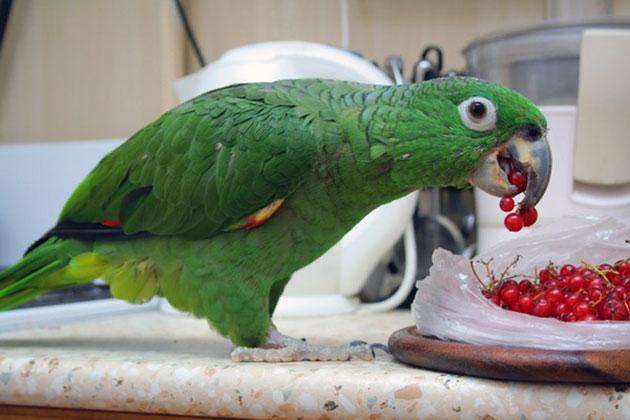 Рацион для попугая амазаон можно составить самостоятельно, но оптимальнее всего будет покупать уже готовый корм со всеми необходимыми витаминами и микроэлементами