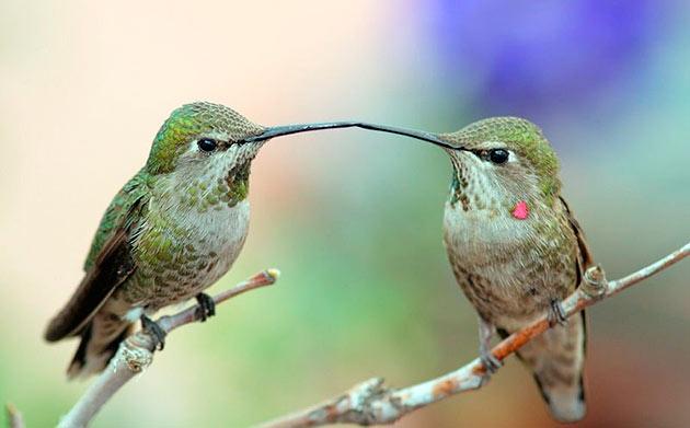 Безконтрольный вылов колибри человеком ради перьев, сократило популяцию до катастрофической цифры и сейчас предпринимаются попытки восстановить популяцию колибри