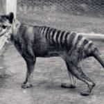 Сумчатый или тасманийский волк