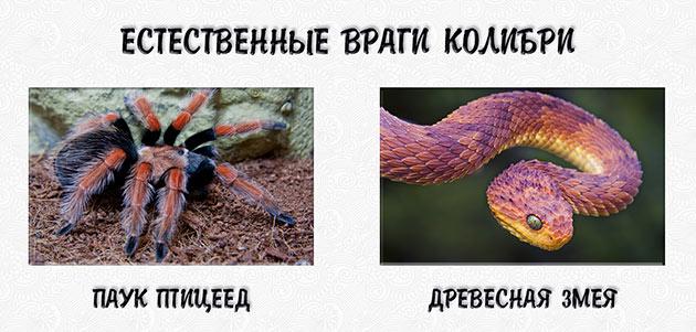 К естественным врагам колибри относятся пауки-птицееды и древесные змеи