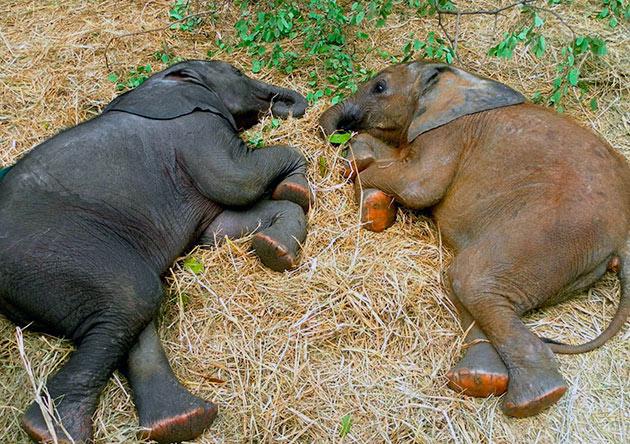 Слонята спат в окружение взрослых слонов, так они защищены от хищников
