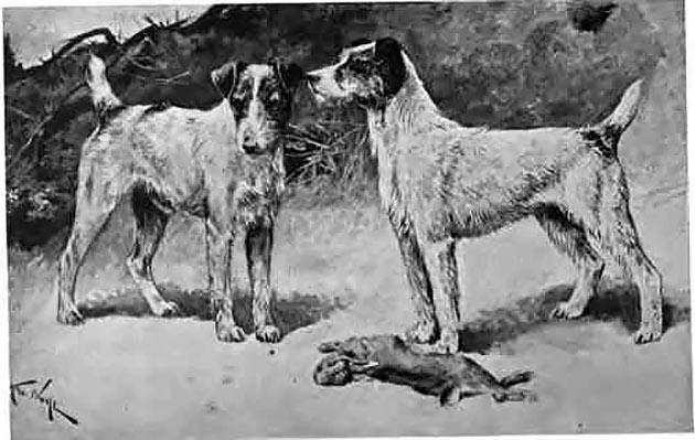 Породы собак: Фокстерьер