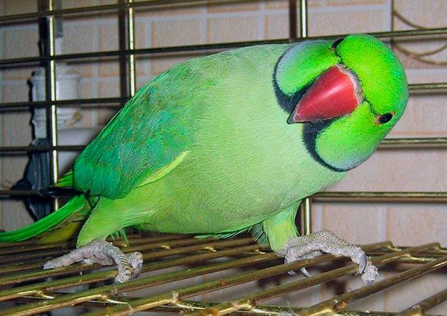 Птенца ожерелового попугая лучше всего приобретать в полуторомесячном возрасте