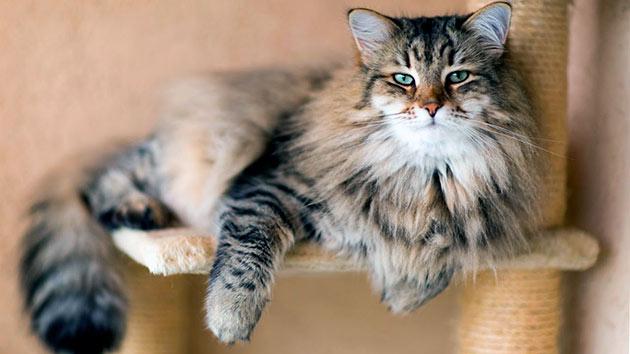 Уходе за сибирской кошкой включает чистку глаз и ушей, а так же купание раз в год