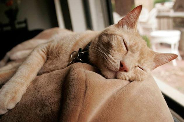 Здоровые коты после обеда впадают в состояние полудрема и могут заснуть где угодно
