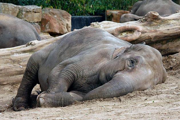 Как спят слоны