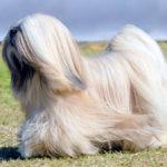 Породы собак: Лхаса апсо