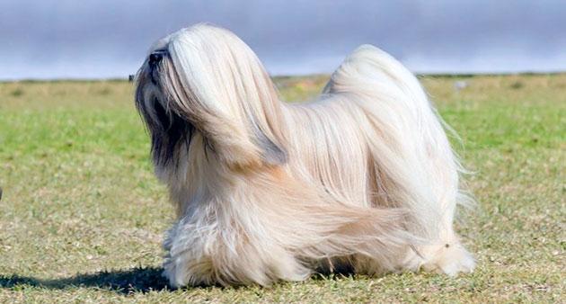 Приобретать щенка лхаса апсо желательно в возрасте 1.5-2 месяца и стоимость таких щенков начинается от 30 тысяч рублей