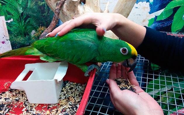 Покупать попугая амазон необходимо приобретать, только в официальных питомниках, либо вы рискуете купить дикую или даже больную птицу