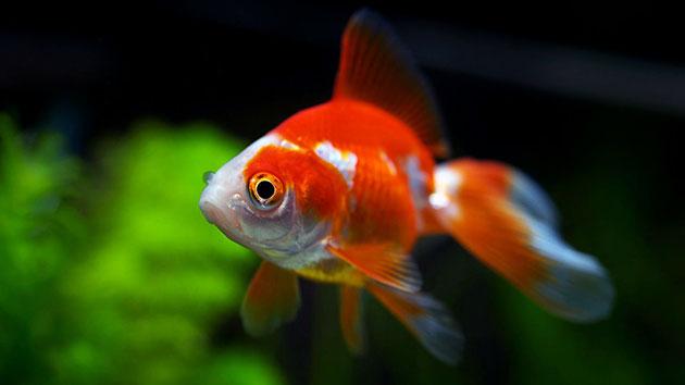 Купить рыбку рюкина можно в любом зоомагазине, цена составляет от 300 до 1000 рублей, в зависимости от размера рыбки