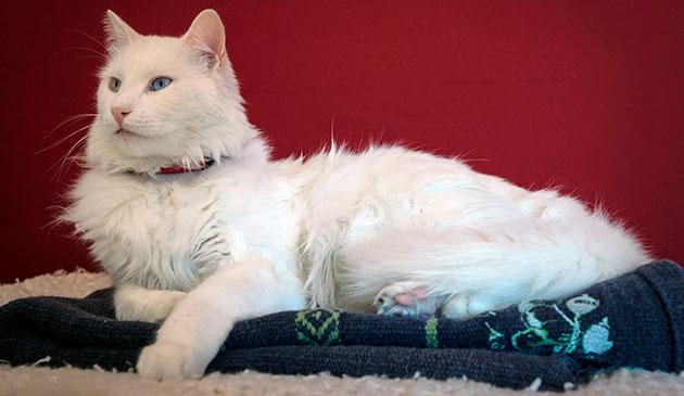 Турецкая ангора склона к глухоте, поэтому приобретая кошку необходимо проверить слух кошки - похлопав ладоши