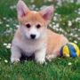 Породы собак: Вельш-корги кардиган