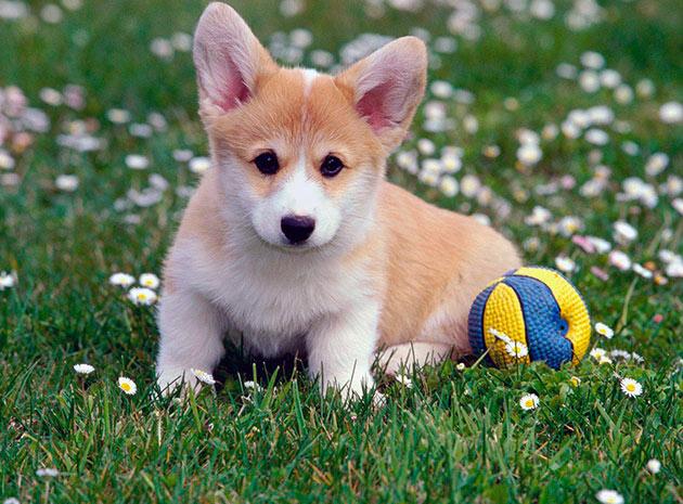 Приобретать щенка вельш-корги кардигана рекомендуеться в возрасте 2-3 месяца