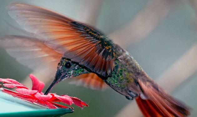 Колибри ведут одиночный образ жизни и особенно активны утром и днем
