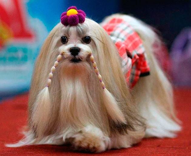 Владельцы лхаса апсо говорят, что это очень добрые, веселые и активные собаки