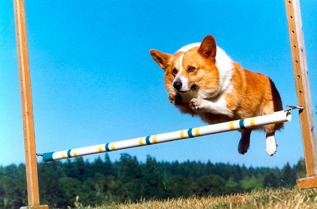 Вельш-корги кардиган относиться в маленьким породам собак, но достаточно смелое животное