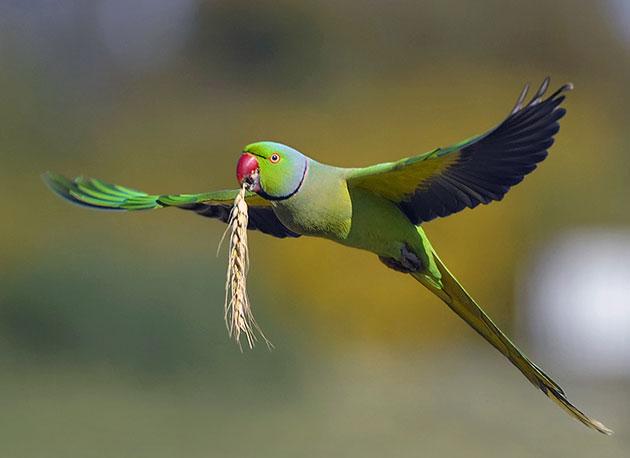 Ожереловый попугай (Индийский кольчатый попугай)