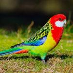 Попугай Розелла (Platycercus)