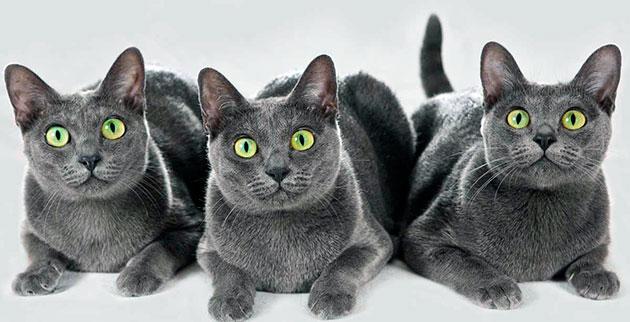 Породы кошек: Корат