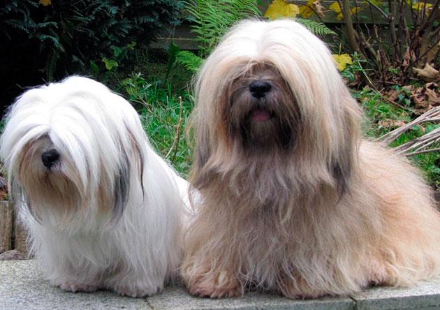 Средняя продолжительность жизни лхасски апсо составляет 12-15 лет, но долгожители среди этих собак проживали более 30 лет