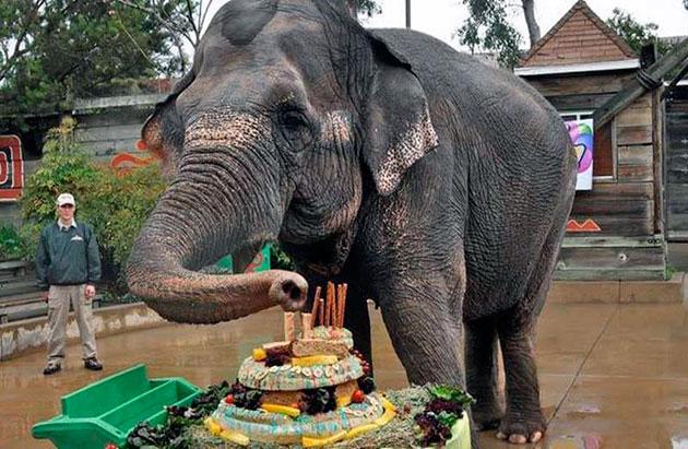 В неволе слоны живут значительно меньше, хотя им обеспечивают все необходимые условия, но не могут обеспечить условия для полноценных прогулок