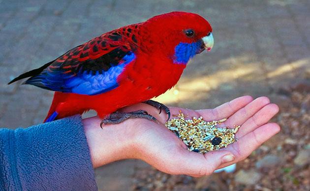 попугай розелла любят, как овощи и фрукты, так и злаковые