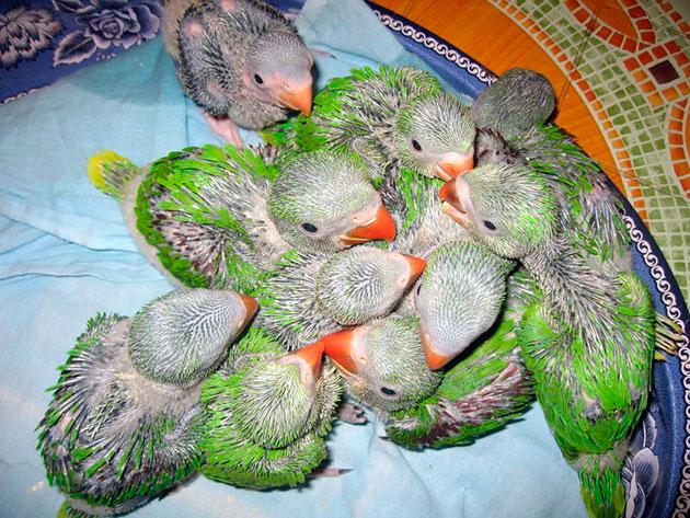 Вылупившиеся ожереловые попугаи совершенно беспомощны, поэтому находятся в гнезде до полутора месяцев