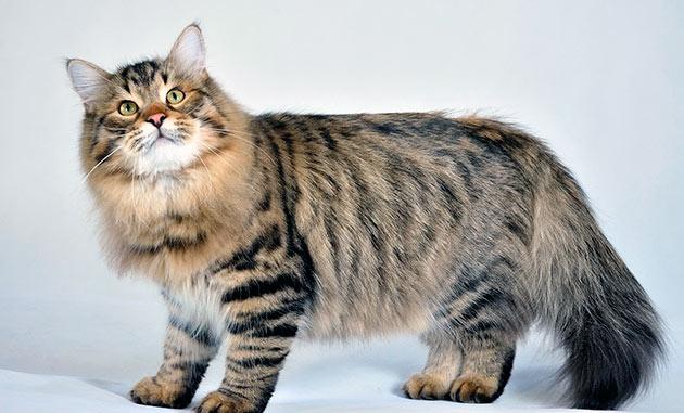 Шерсть у сибирской кошки должна быть средней длины с густым подшерстком