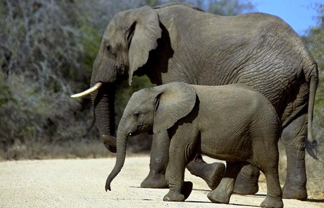 Из-за своих размеров, взрослые слоны практически не имеют врагов, в основном продолжительность жизни слонов обуславливаются крепостью и наличием зубов