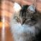 Можно ли приучить к лотку взрослого кота
