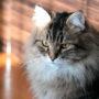 Породы кошек: Сибирская кошка